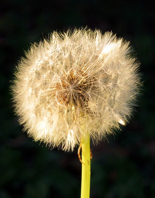 Dandelion, Flower, Nature, Plant