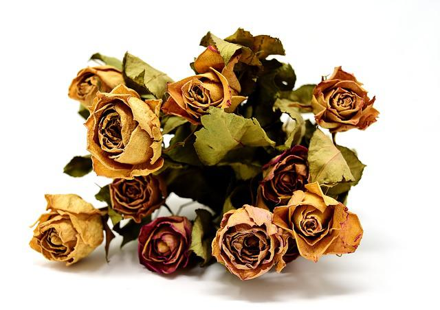 Roses, Flowers, Dried, Nature, Plant, Dry
