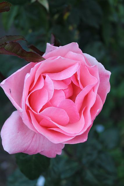 Flower, Rosa, Plant, Nature