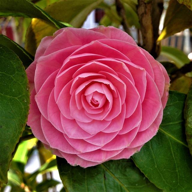 Roses, Nature, Sheet, Petal, Plant, Flower