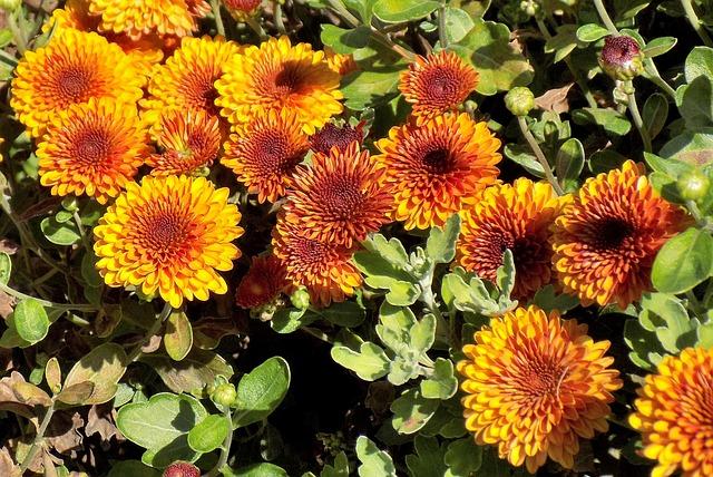 Chrysanthemum, Flower, Plant, Nature, Garden