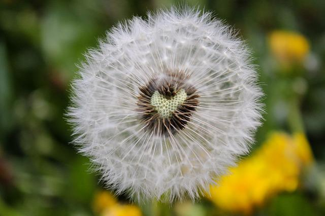 Dandelion, Heart, Nature, Plant, Summer, Love, Yellow
