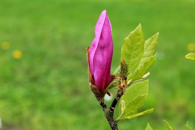 Magnolia, Bud, Pink, Spring, Nature, Leaf, Plant