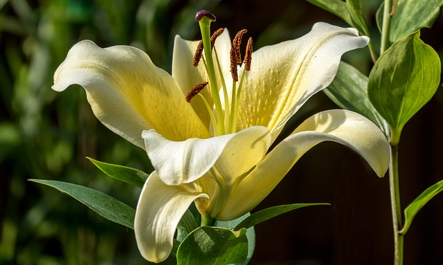 Lily, Flower, Nature, White, Garden, Plant