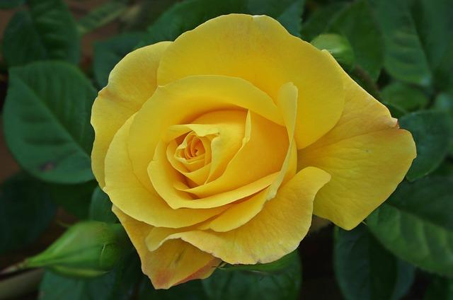 Flower, Rose, Plant, Leaf, Nature, Love