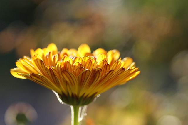 Calendula, Marigold, Medicinal Plant, Nature, Plant