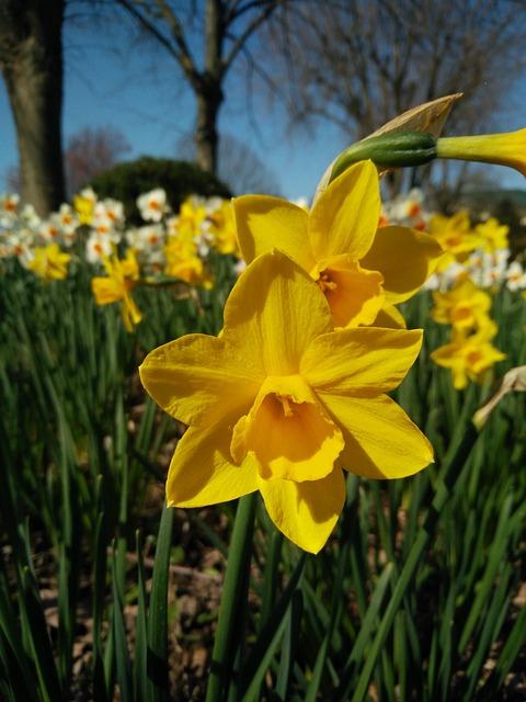Plant, Nature, Flower, Narcissus Pseudonarcissus