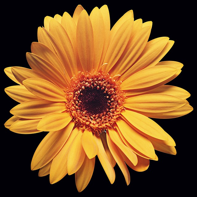 Flower, Plant, Petal, Nature, Black Background, Daisy