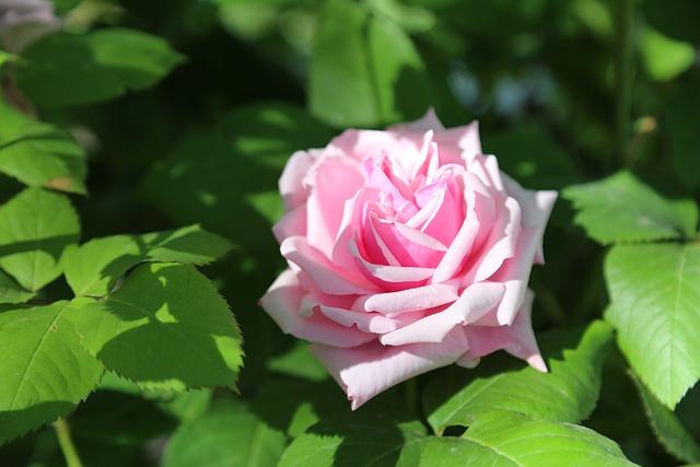 Rose, Pinkish Rose, Flower, Leaves, Plant, Nature