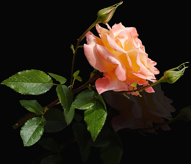 Flower, Rosa, Nature, Leaf, Plant, Black Background