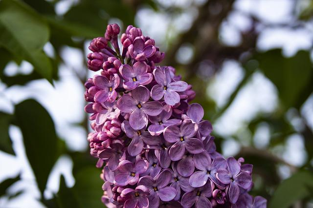 Lilac, Close, Plant, Spring, Flower, Summer, Nature