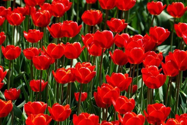 Nature, Garden, Plant, Tulip, Season, Red