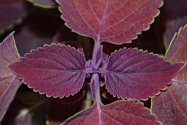 Colorful Nettles, Nettles, Plant, Foliage Plant