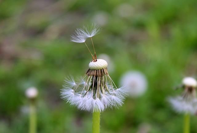 Dandelion, Sonchus Oleraceus, Spring, Nuns, Plant