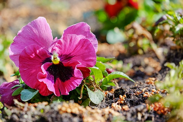Violet, Pansy, Plant, Flower Plants, Violaceae, Blossom