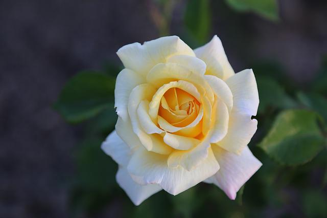 Whitish Rose, Flower, Plant, Petals, Blooming