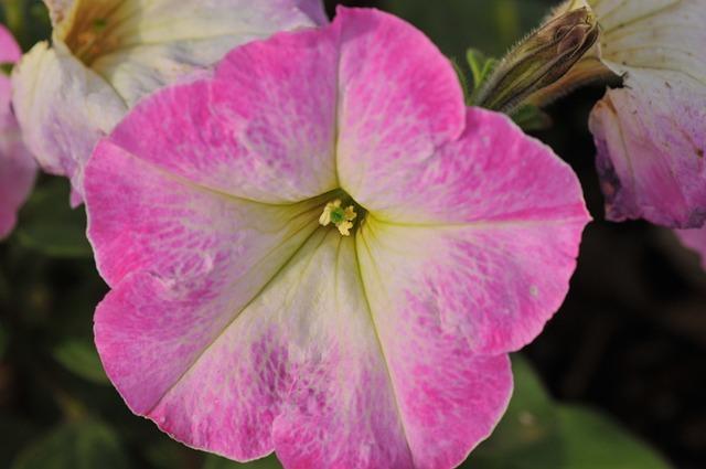 Petunia, Flowers, Natural, Plant, Pink Petal