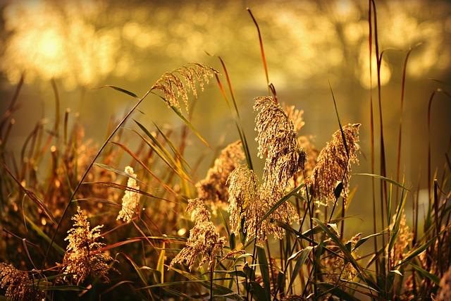 Phragmite, Plume, Plant, Feathery, Vegetation, Marsh