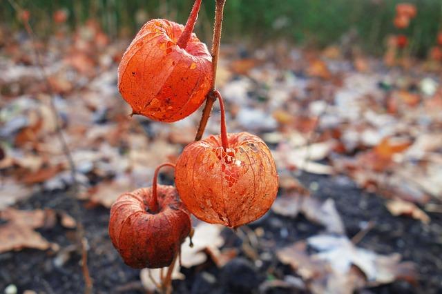 Ground Cherry, Japanese Lantern, Physalis, Plant, Husk