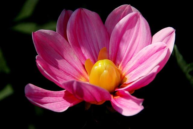 Nature, Plant, Color, Summer, Garden, Pink, Dahlia