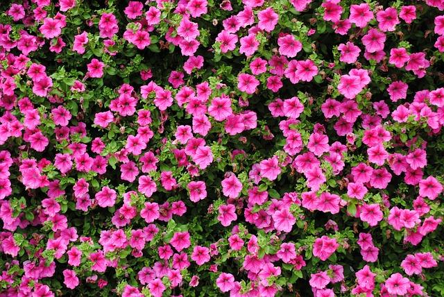 Petunia, Pink, Flower, Plant, Purple
