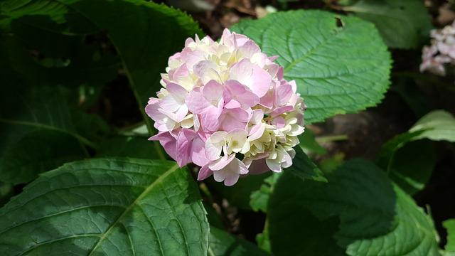 Hydrangea, Pink Red, Plant, Nature