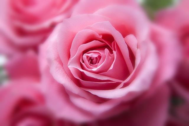 Flower, Roses, Plant, Pink Rose, Pink Flower, Bloom