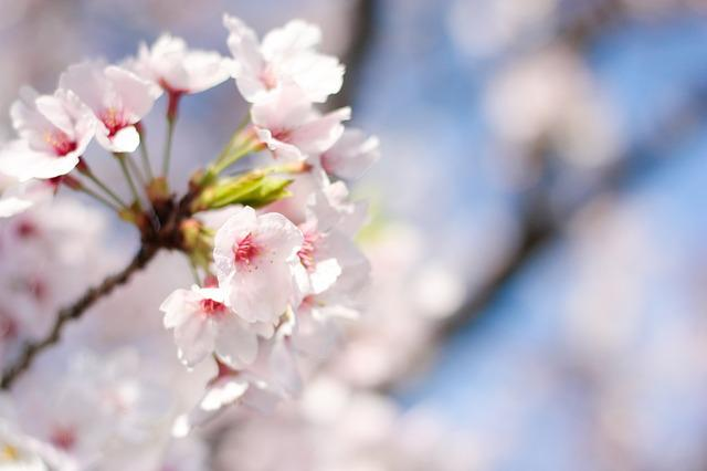 Spring, Cherry Blossoms, Pink, Flowers, Plant