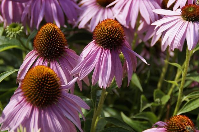 Echinacea, Flowers, Sun Hat, Flora, Pink, Plant