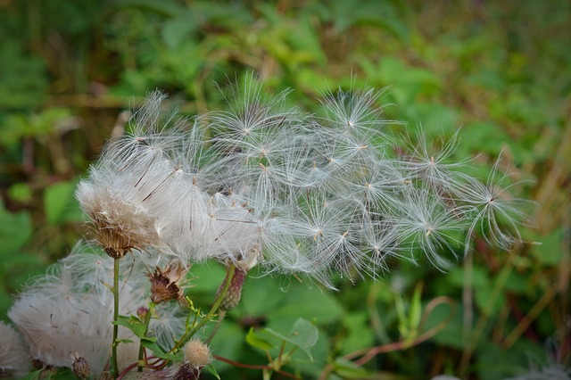 Seeds, Flying Seeds, Pointed Flower, Plant, Close