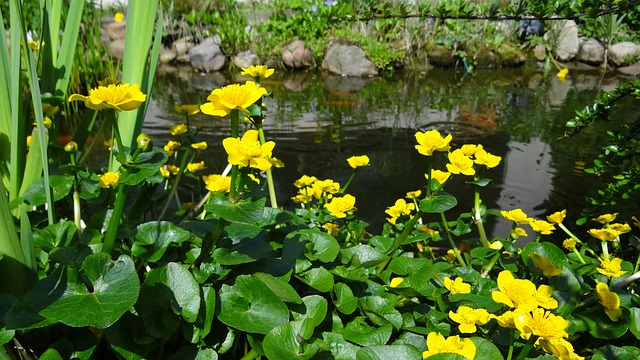Pond, Pond Flower, Water, Plant