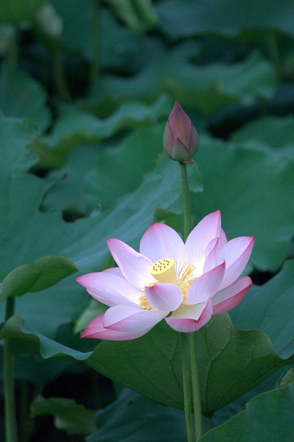 Lotus, Plant, Pond, Flower, Leaf, Dutch, Nature