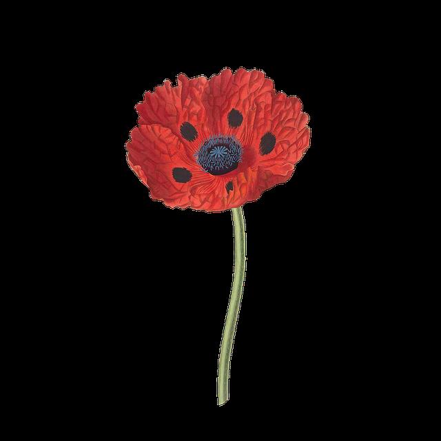 Poppy, Flower, Plant, Blossom, Bloom