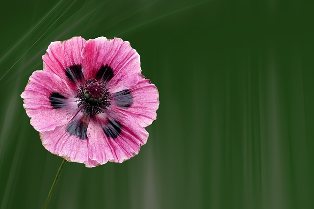 Poppy, Blossom, Bloom, Flower, Klatschmohn, Plant