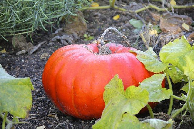 Pumpkin, Cucurbita, Plant