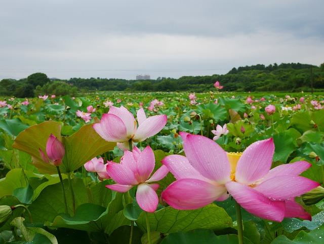 Plant, Lotus, Rain, Hubei, Wuhan