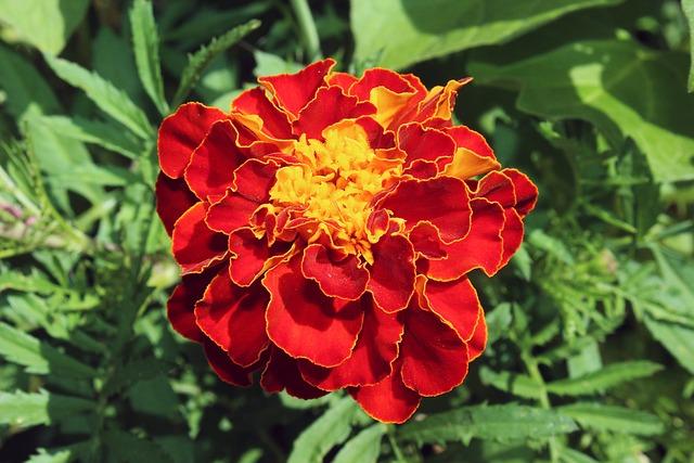 Marigold, Red, Orange, Plant, Blossom, Bloom