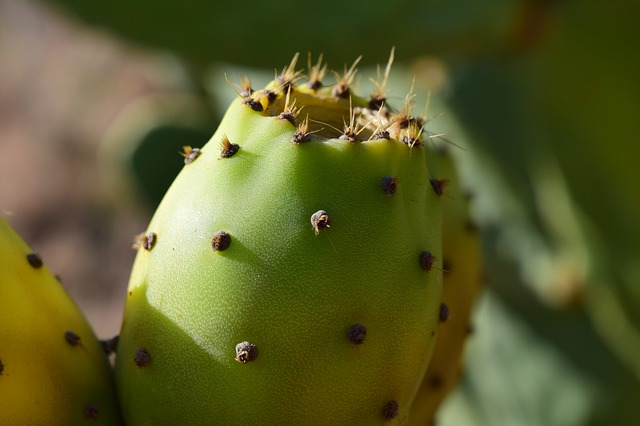 Prickly Pear, Ripe, Summer, Prickly, Plant