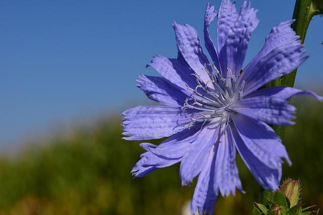 Chicory, Pointed Flower, Roadside, Nature, Plant, Close