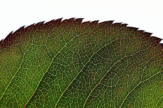 Rosenblatt, Green, Plant, Leaf, Flower, Macro, Close
