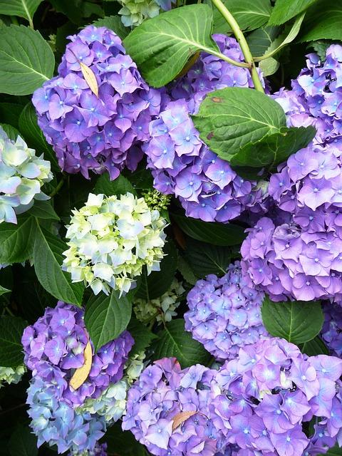 Hydrangea, Rustic Flowers, Flower, Plant, Flowers, Leaf