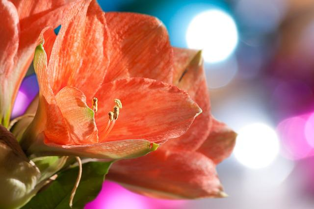 Amaryllis, Salmon Pink, Blossom, Bloom, Flower, Plant