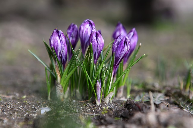 Nature, Plant, Flower, Krokus, Season, Spring, Blooming