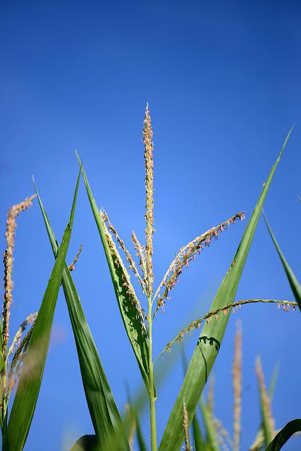 Corn Stalk, Flag, Seeds, Plant