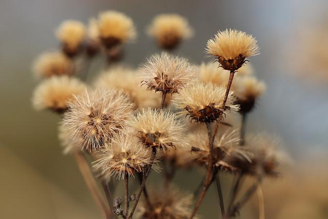 Dried Flowers, Faded, Seeds, Dry, Flowers, Plant, Flora
