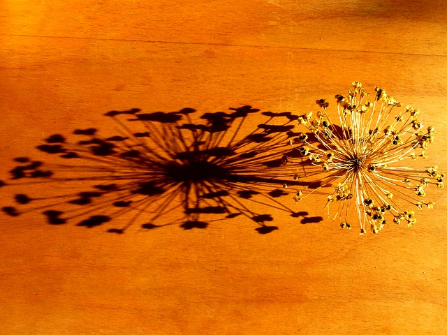 Dry Flower, Chives Blossom, Shadow, Plant, Nature
