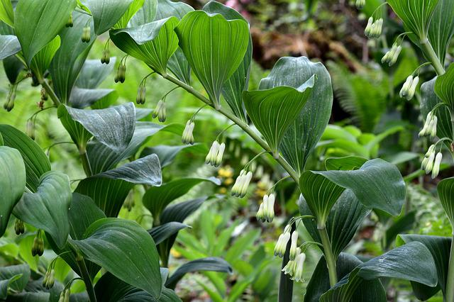 Solomon's Seal, Plant, Nature, Spring, Green