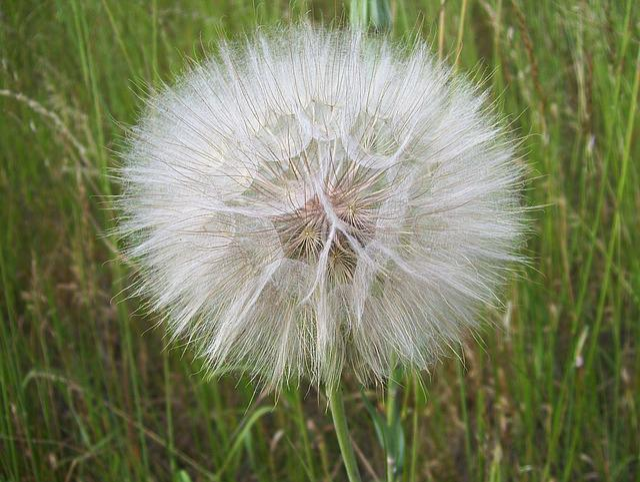 Dandelion, Sonchus Oleraceus, Vulgaris, Plant, Nuns