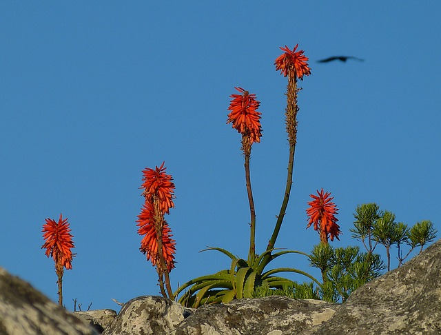 South Africa, Cape Town, Table Mountain, Plant, Agave