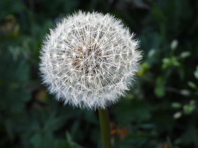 Sonchus Oleraceus, Dandelion, Plant, Spring, Meadow